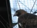 [鳥]イヌワシ