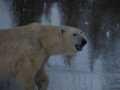 [クマ]ホッキョクグマのゴーゴ
