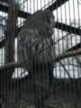 [鳥]カラフトフクロウ