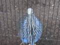 [鳥]フサホロホロチョウ