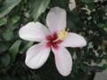 [花]ヒビスクス・ジャネヴィー