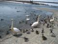 p02,Swan-in-AquaPark,TokachiGawa-onsen,trip-Hokkaido-200604
