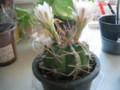 cactus(Saboten),in-myhome