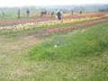 TulipSokubaiJo,Shimokita-NanohanaFestival,Aomori-200805