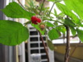 [myhome-plant] ichigo