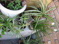 [myhome-plant] OrizuruRan