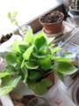 [myhome-plant] Saintpaulia-and-Cyclamen(sleeping?)