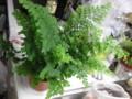 [myhome-plant] Asiantum