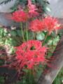 Higanbana-(spider-lily)-nearby-ohta-senzokuike-library