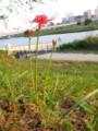 Higanbana-(spider-lily)-in-Tamagawa-MarukoBashi