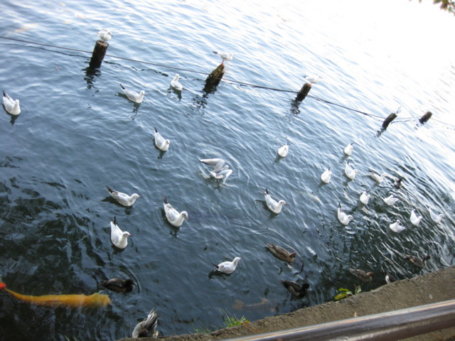 sea-gulls,Senzoku-ike