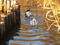 Ducks-in-Senzoku-ike