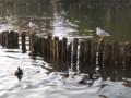 sea-gulls2-in-Senzoku-ike