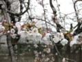 [お散歩] Sakura-in-Tamagawa-Marukobashi