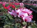 Magome-Cyclamen-Garden-02