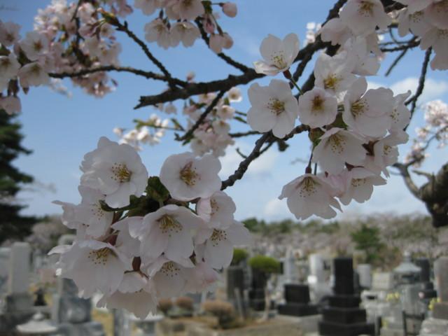 p01,Sakura2011,SannaiReien,Aomori