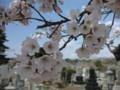 [ao1105]p01,Sakura2011,SannaiReien,Aomori