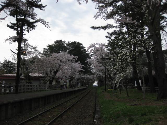 p02,Sakura2011,Ashino-Kouen,Kanagi,Aomori