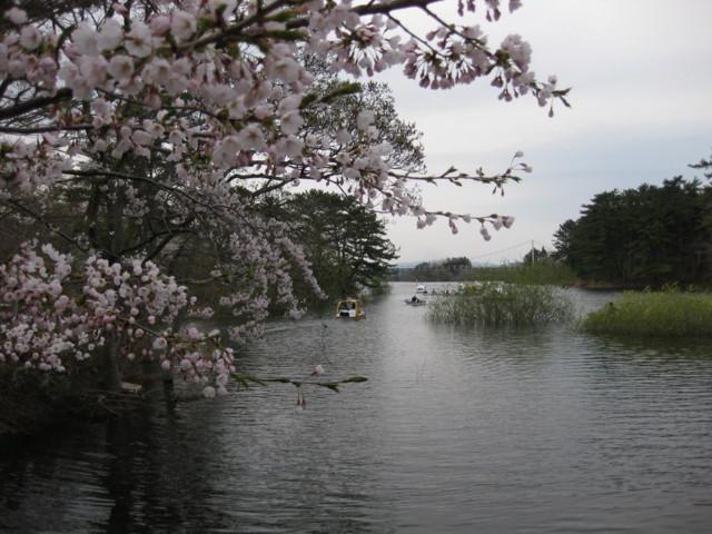 p01,Sakura2011,Ashino-Kouen,Kanagi,Aomori