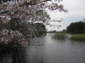 [ao1105]p01,Sakura2011,Ashino-Kouen,Kanagi,Aomori