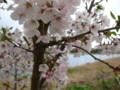 [ao1105]p03,Sakura2011,SasamoriNuma,Ishie,Aomori