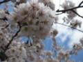 [ao1105]p03,Sakura2011,SannaiReien,Aomori