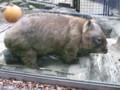[TamaZoo] Wombat,