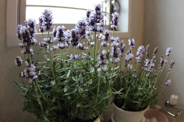 Lavender,magome