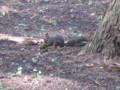 Hokkaido-Squirrel,EzoRisu,MiharashiKouen,Hakodate-201310