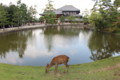 [trp-twi1409]DaibutsuDen-and-Shika,Nara-koen-Park,Nara