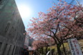 [trp-izu18]Kawazu-st,Kawazu-Sakura-Matsuri,kawazu-cho,shizuoka