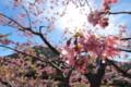 [trp-izu18]Kawazu-Gawa,Kawazu-Sakura-Matsuri,kawazu-cho,shizuoka