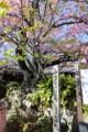 [trp-izu18]KawazuZakura-genboku,Kawazu-Sakura-Matsuri,kawazu-cho,shizuoka