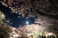 [trp-izu18]Yozakura-LightUp,Kawazu-Sakura-Matsuri,kawazu-cho,shizuoka