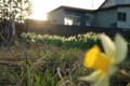 [hometown1805]narcissuses-and-sunset,Sannai-aomori