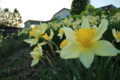 [hometown1805]p02,narcissuses-and-sunset,Sannai-aomor