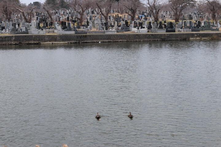 p01,duck,Sannai-Muma,sannai-reien,aomori-city