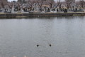 [ao2003]p01,duck,Sannai-Muma,sannai-reien,aomori-city