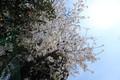 sakura,oota-tokyo,sampo-2103