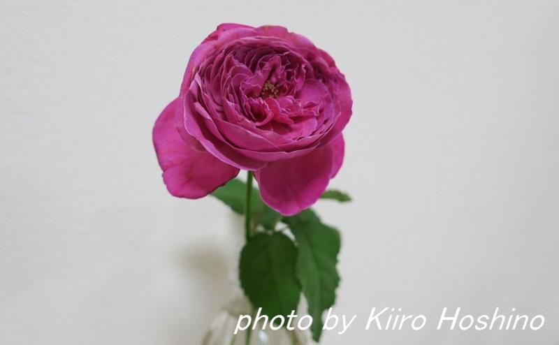 お弁当、2016-7-21、バラの花