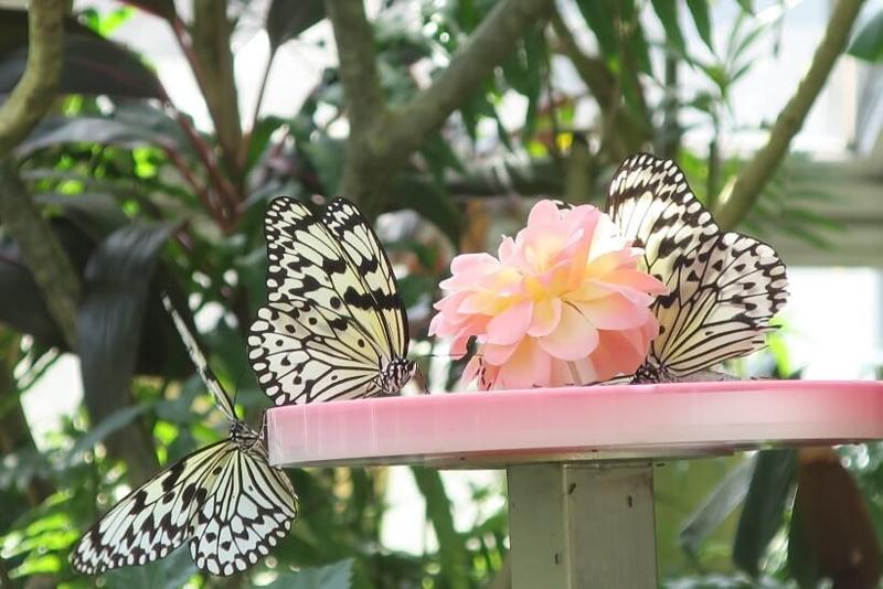 伊丹市昆虫館、チョウ温室蜜皿