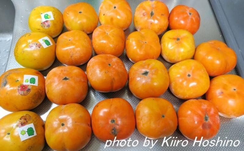 お弁当、2016-11-1、大量の柿