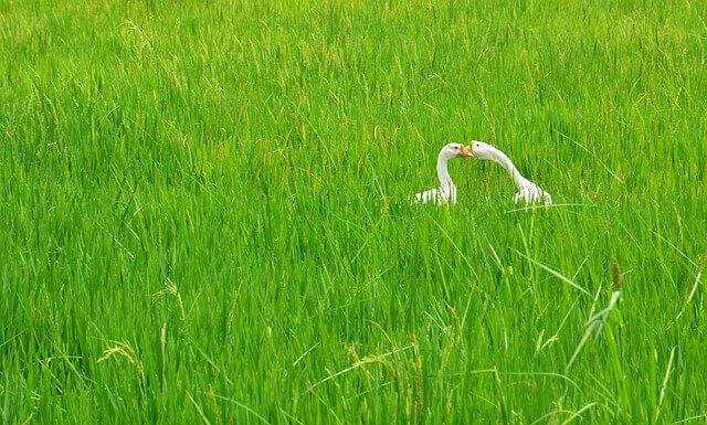 ふるさと納税玄米、白鳥