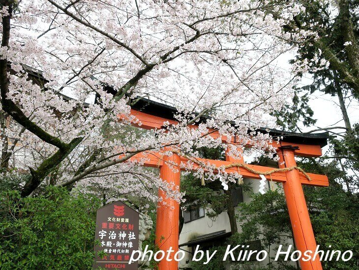 宇治・宇治神社の桜