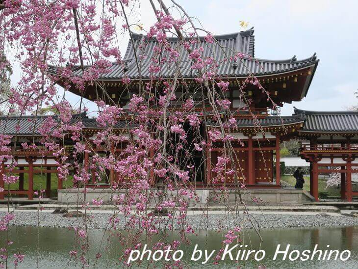 平等院・鳳凰堂と紅枝垂れ桜