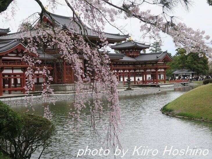 平等院・枝垂れ桜と鳳凰堂