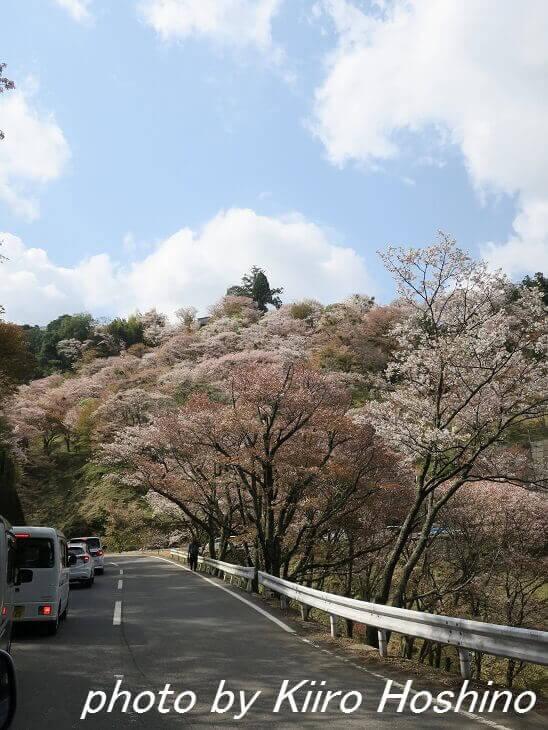 吉野桜、渋滞