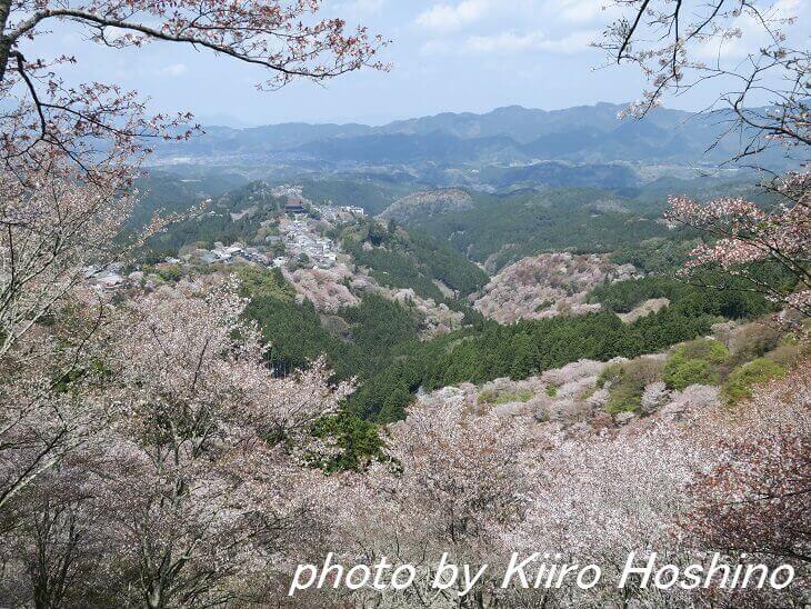 吉野桜、上千本から