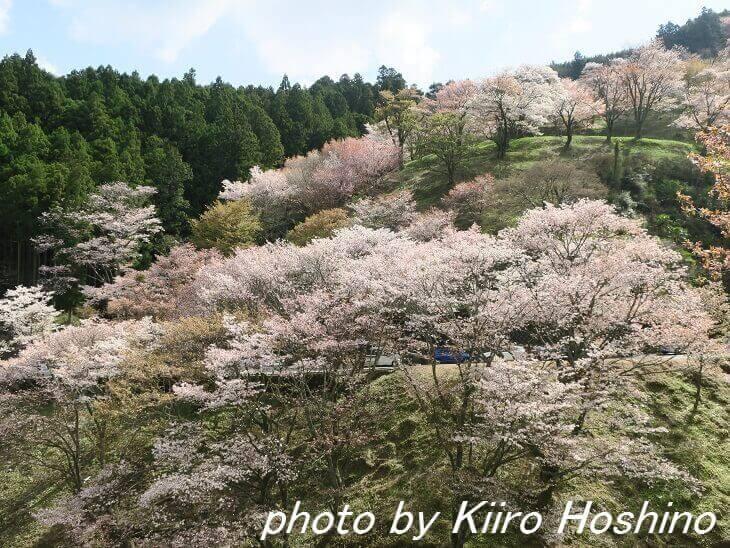 吉野の桜、観光車道