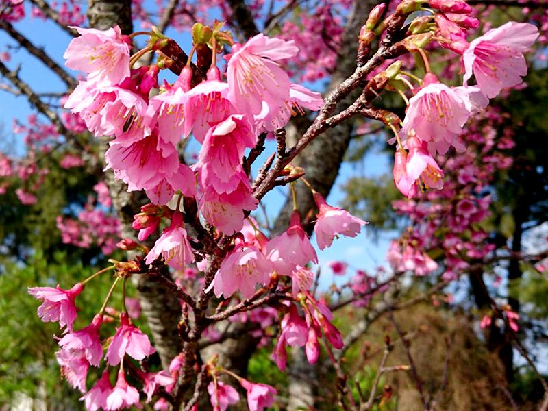 喜界島 長命草(ボタンボウフウ)配合の潤命青汁で寒緋桜を見ながらほっと一息